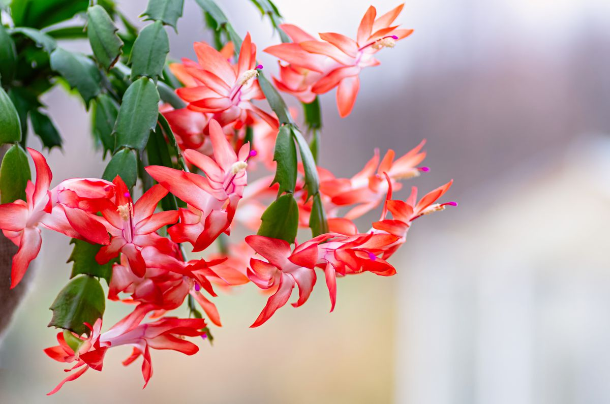 "Blooming ""Christmas cacti,"" Schlumbergera truncata (Getty Images)"