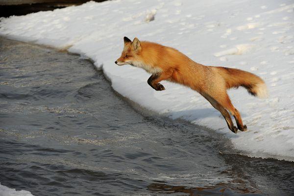 A fox leaps across a creek in south Anchorage, AK on Thursday, March 29, 2018. (Bob Hallinen / ADN)