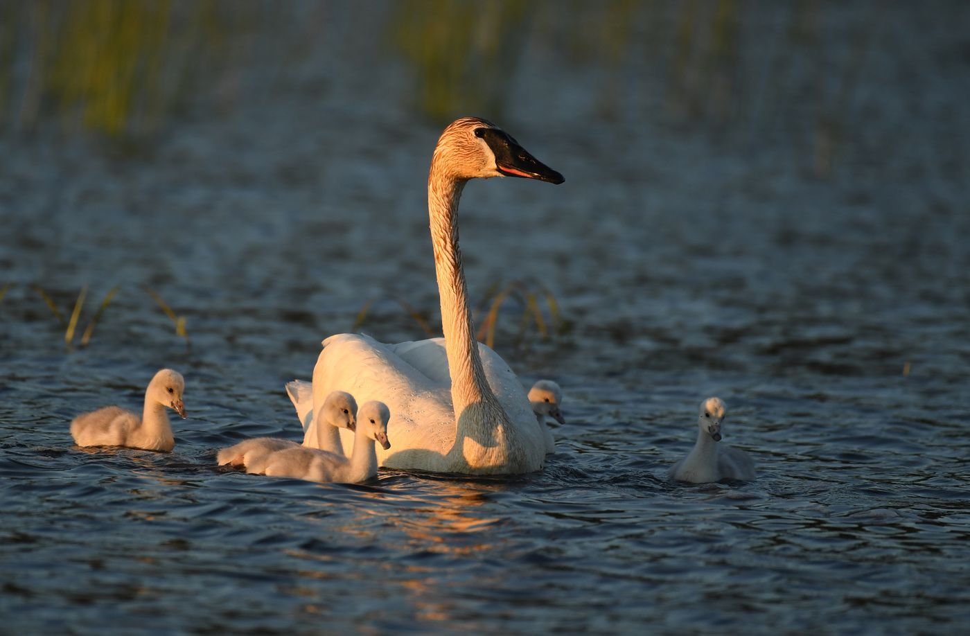 A trumpeter swan and five recently-hatched cygnets feed at Potter Marsh on June 14, 2020. (Photo by Bob Hallinen)