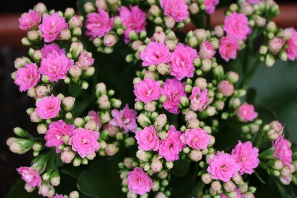 Pink blooming Flaming Katy or Kalanchoe blossfeldiana (Getty Images)
