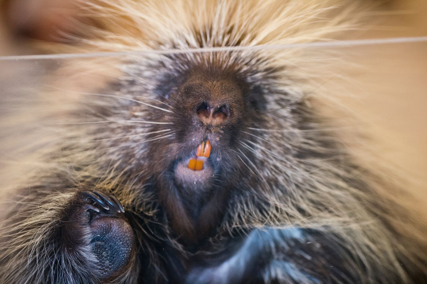 Alaska Zoo porcupine Sasha looks out from a mobile pen during a streaming lesson on March 25, 2020. (Marc Lester / ADN)