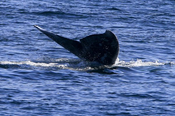 A gray whale puts on a show for whale watchers off the California coast in 2013. A new study finds that the larger the marine animal, the more likely it is to go extinct. (Mark Boster / Los Angeles Times / TNS)