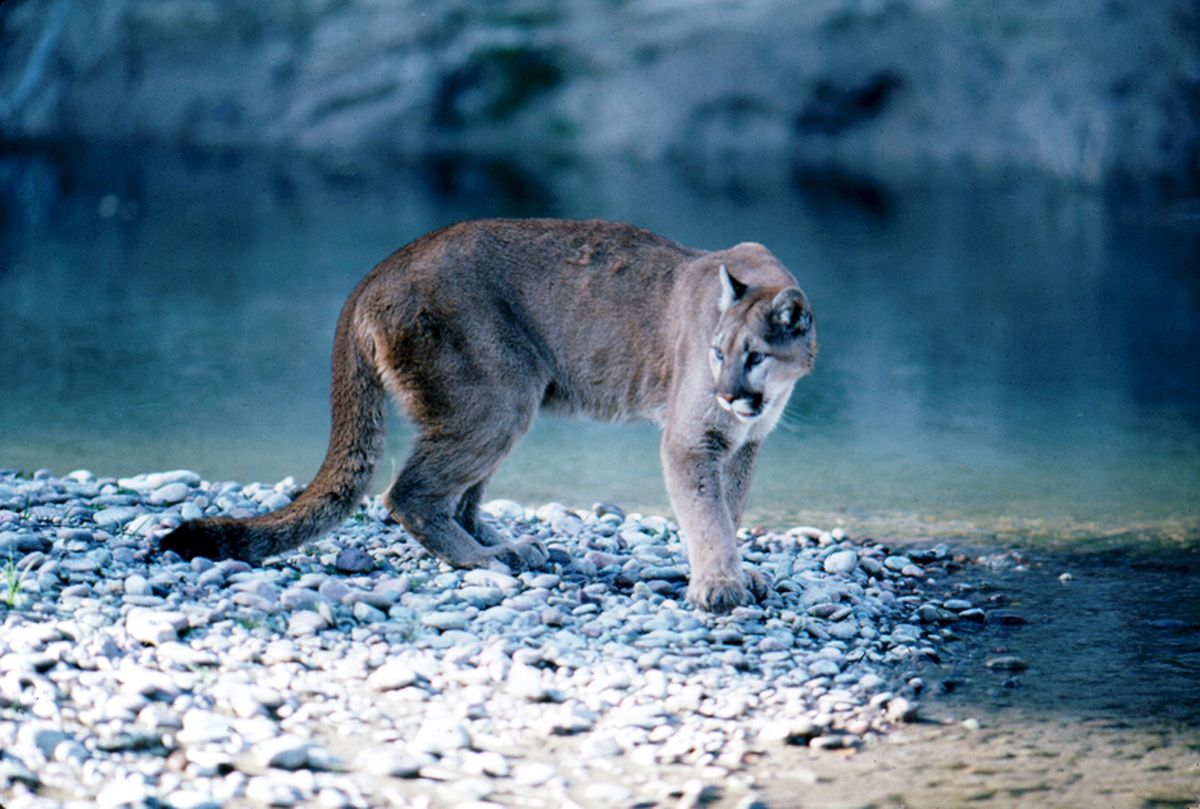 A mountain lion in Grand Teton National Park in Wyoming. (National Park Service)