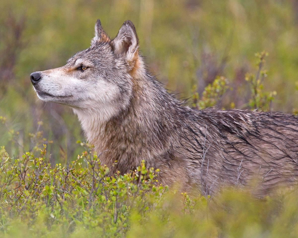 A wolf in Denali National Park, 2010. (Ken Conger / NPS)