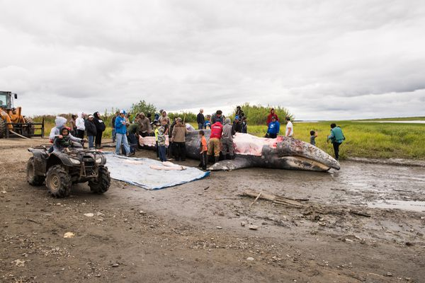 The whale killed in the Kuskokwim River on Thursday night is butchered and the meat and blubber distributed in Napaskiak on Saturday, July 29, 2017. People from up and down the river traveled to Napaskiak to help salvage and butcher the whale and collect blubber and meat. (Katie Basile / KYUK Public Media)