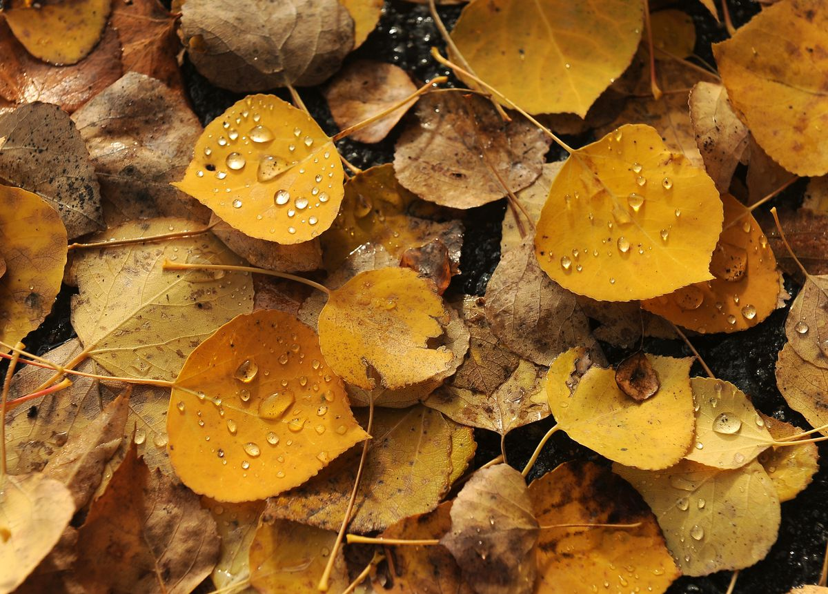 Use fallen leaves on naked lawns, keep some for composting next year and spread the rest on your garden beds. (Bob Hallinen / ADN)