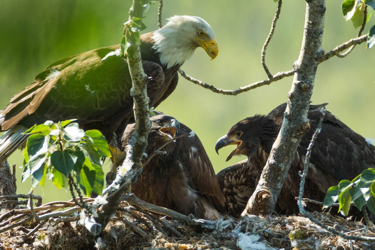 An adult bald eagle watches over two young eagles in a nest in South Anchorage in July 2016. (Loren Holmes / ADN archive)