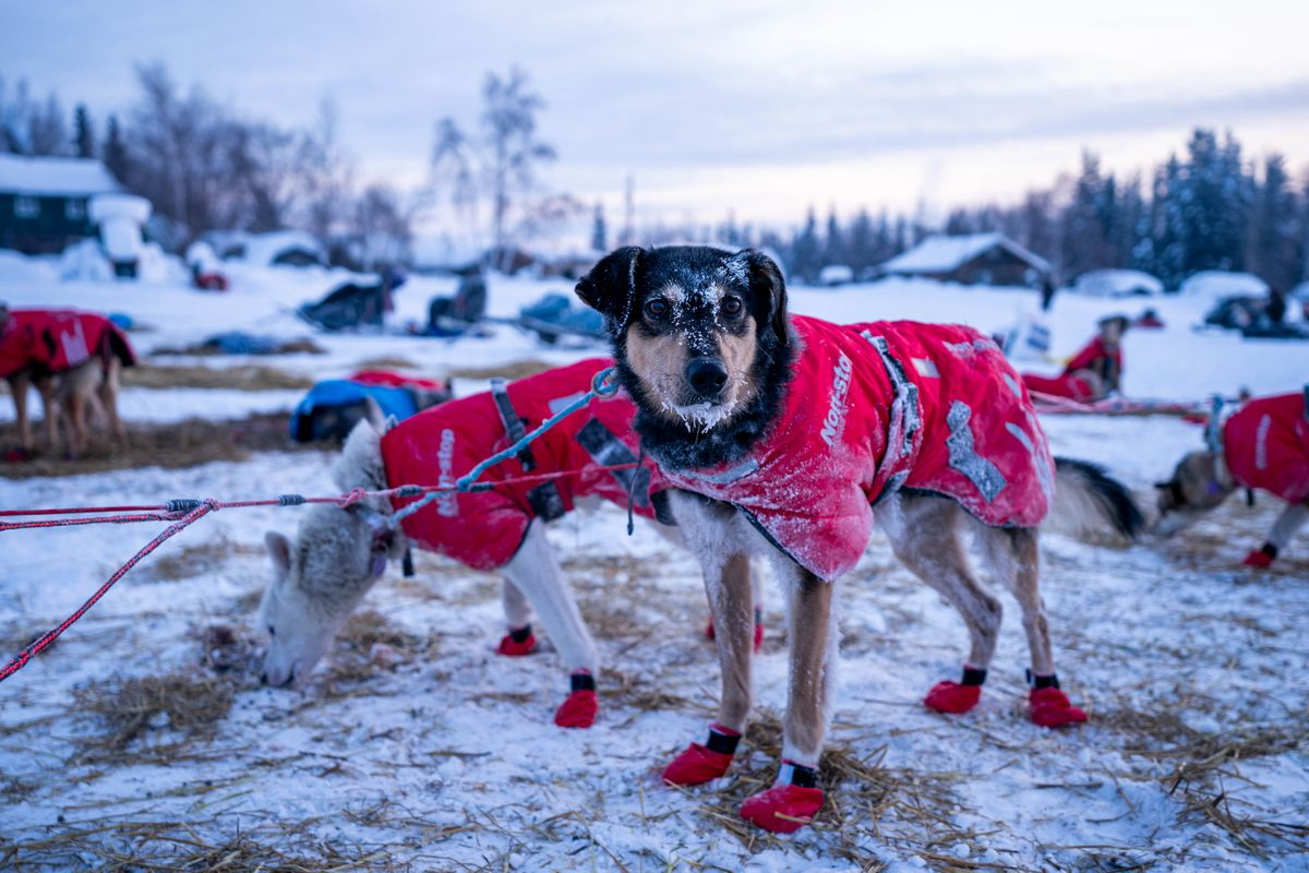 Dubstep, a dog in Merideth Mapes's team, is covered in frost after arriving in Nikolai on Wednesday, March 11, 2020 during the Iditarod Trail Sled Dog Race. (Loren Holmes / ADN)