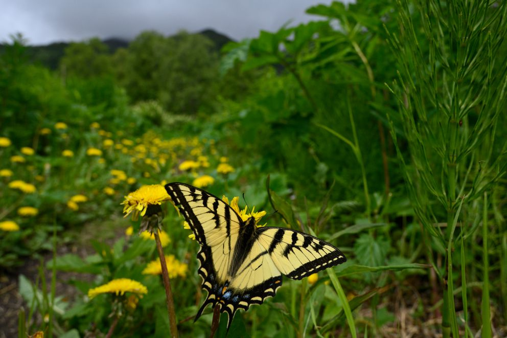 A swallowtail butterfly lands on a dandelion along a trail at Government Peak Recreation Area on June 10, 2020. (Marc Lester / ADN)