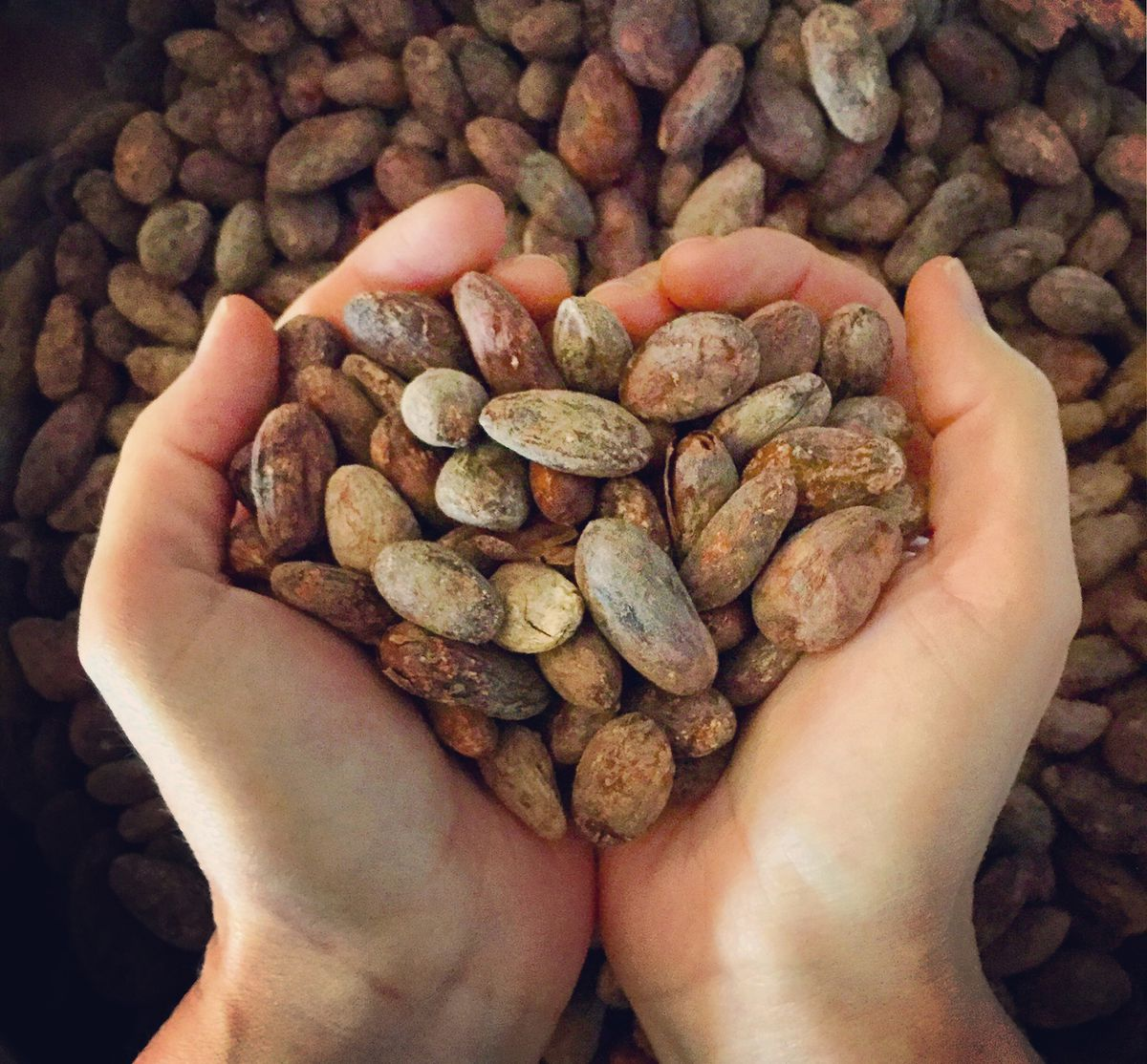 Cocoa beans from Guatemala. (Photo courtesy: Wildland Chocolates)