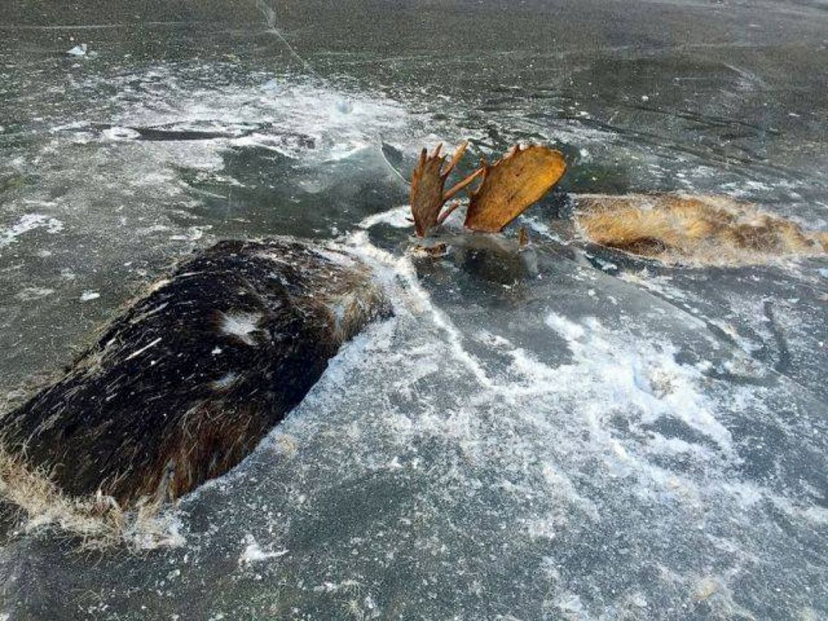 These two moose froze to death in what would be their final battle. (Jeff Erickson via The Washington Post)
