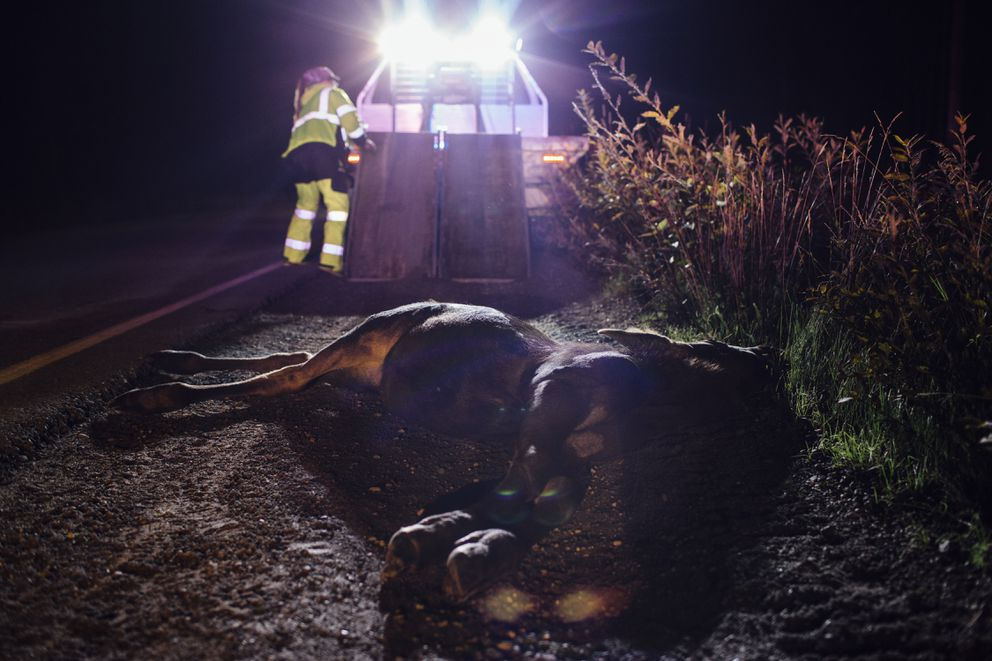 """Laurie Speakman, a volunteer driver with the Alaska Moose Federation, arrives to collect a moose struck and killed in Soldotna, Alaska, Aug. 25, 2016. Roadkill from Alaska's highways are state property, and each can provide hundreds of pounds of meat to the needy. """"I work my life around roadkill,"""" Speakman said. """"My heart and soul is into this because people are getting fed."""" (Joshua Corbett/The New York Times)"""