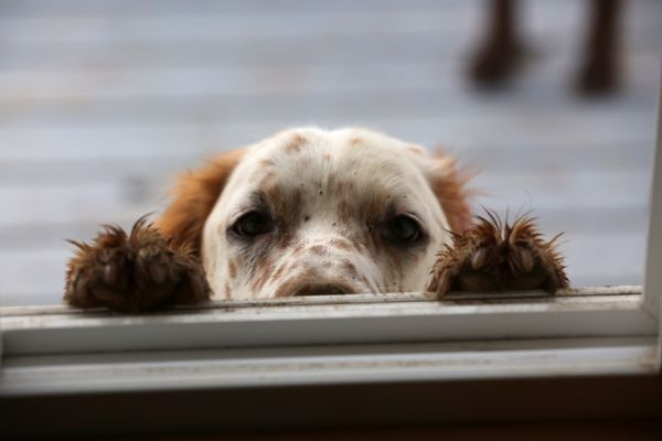 Boss peers through the kitchen window with his head between his muddy paws. (Photo by Steve Meyer)