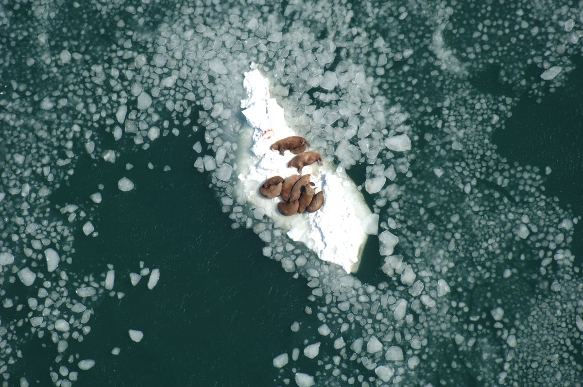 Walrus cows resting on sea ice south of Nunivak Island, Alaska, while nursing their calves. (Alaska Region U.S. Fish and Wildlife Service file photo)