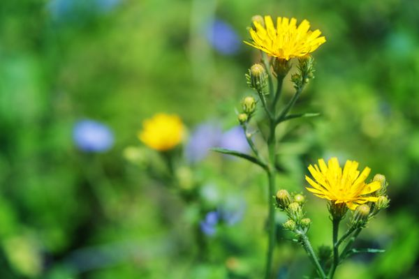 Closeup of a bright yellow flower Sow Thistle or Sonchus arvensis. (Getty)