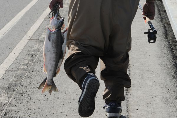 An angler carriers coho (silver) salmon on a stringer while fishing at Ship Creek on Thursday, July 25, 2019. (Bill Roth / ADN)