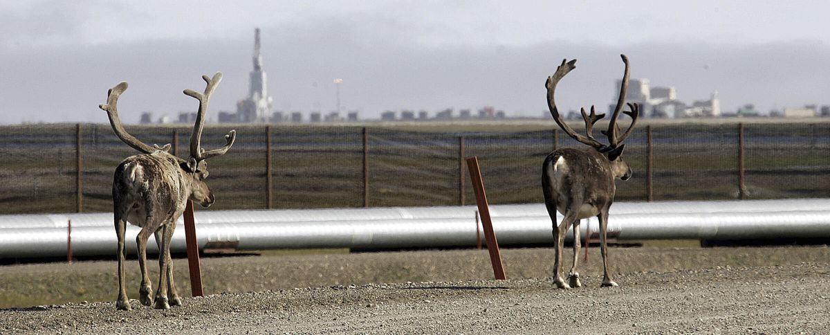 FILE - In this Aug. 4, 2006, file photo caribou walk down a road near oil transit and other pipelines on the Prudhoe Bay oil field on Alaska's North Slope. BP, a major player on Alaska's North Slope for decades, is selling all of its assets in the state, the company announced Tuesday, Aug. 27, 2019. Hilcorp Alaska is purchasing BP interests in both the Prudhoe Bay oil field and the trans-Alaska pipeline for $5.6 billion, BP announced in a release. (AP Photo/Al Grillo, File)