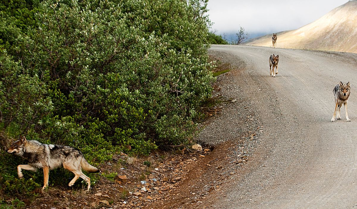 A wolf pack in Denali National Park, 2010. (Nathan Kostegian / National Park Service)