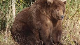 'No fat shaming': Vote for the most rotund Katmai bear during Fat Bear Week