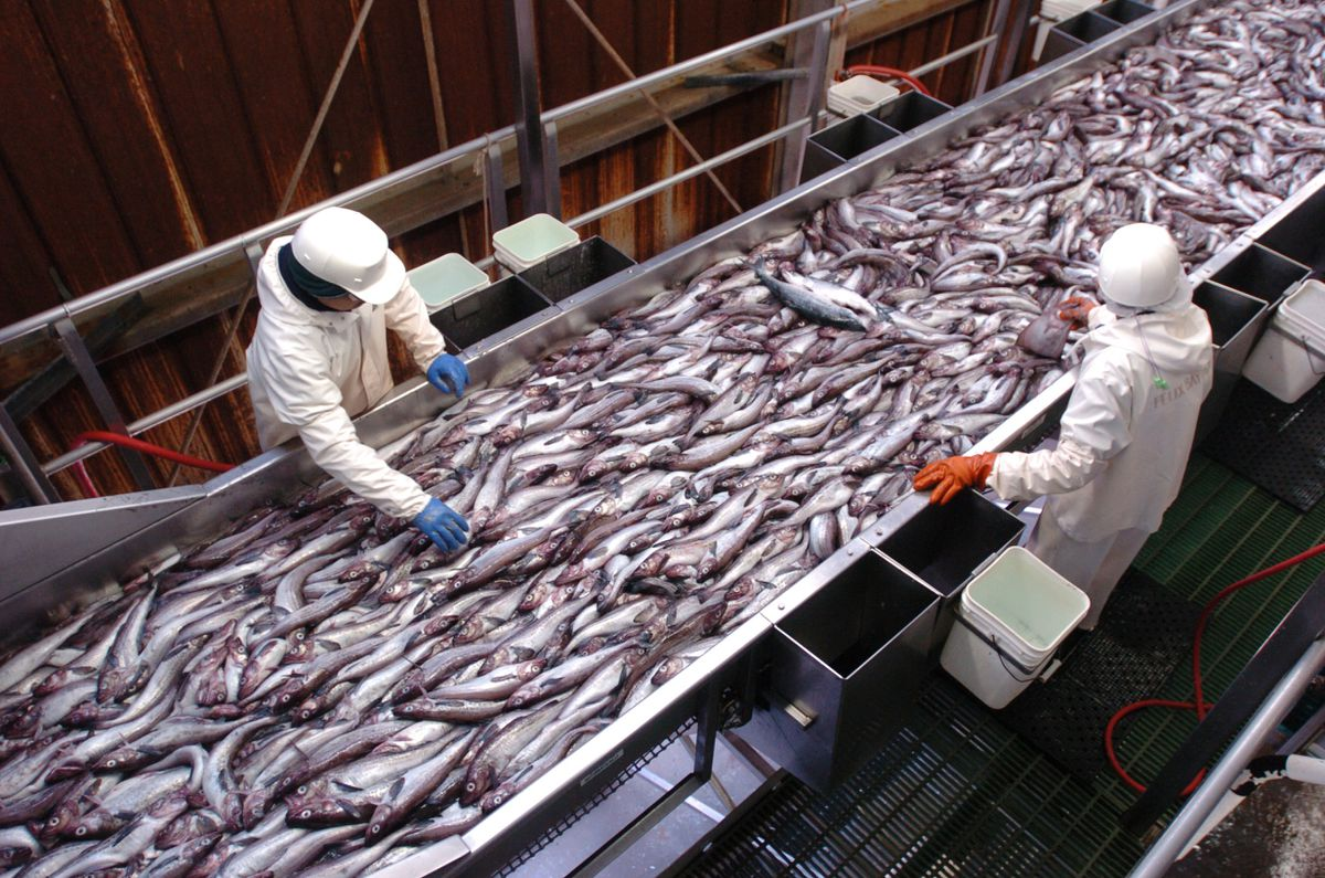 Pollock move along a conveyor belt where by catch is pulled off as the the fish first enter the Unisea processing plant in Unalaska to be converted into fillets, surimi, bio-diesel, and fish meal. (Bob Hallinen/ADN file photo)