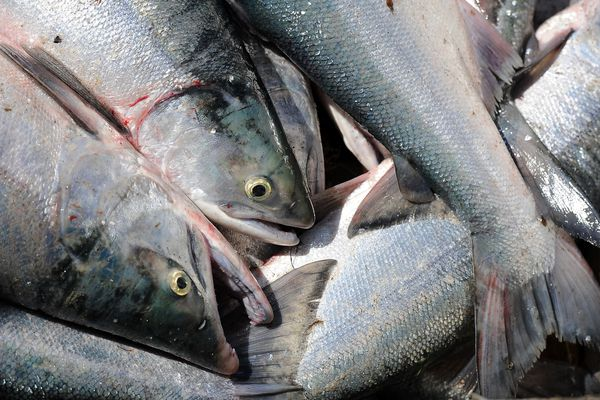 Red salmon picked from a Kenai Salmon Co. setnet pile up in a skiff on Thursday morning, July 23, 2015, in Kenai.