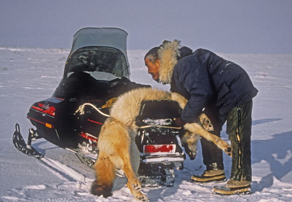 Clarence Wood ties a wolf to his snowmachine along the Noatak River while traveling from Ambler to Anaktuvuk Pass. (Nick Jans photo)