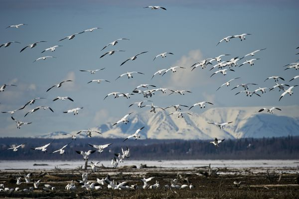 Marc Lester / Anchorage Daily News Snow geese land on the Anchorage Coastal Wildlife Refuge on Thursday, April 19, 2012. Snow geese migrate toward the Beaufort Sea coastal region in Alaska and Canada in spring.