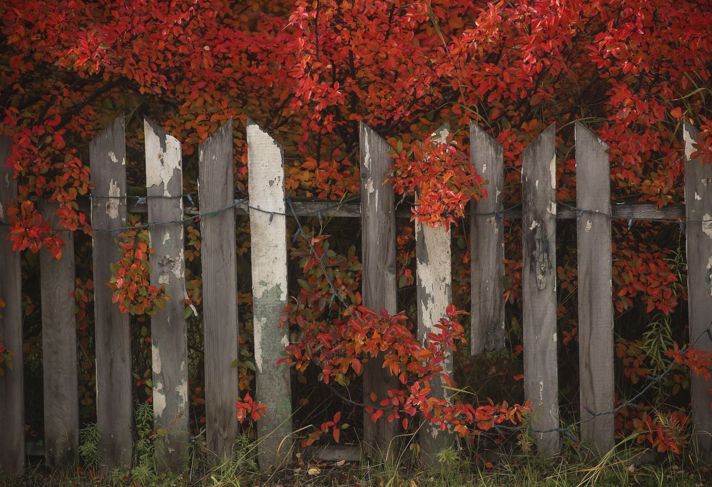 Leaves turn bright red and poke through a wooden fence in Anchorage on Sept. 25, 2020. (Emily Mesner / ADN)