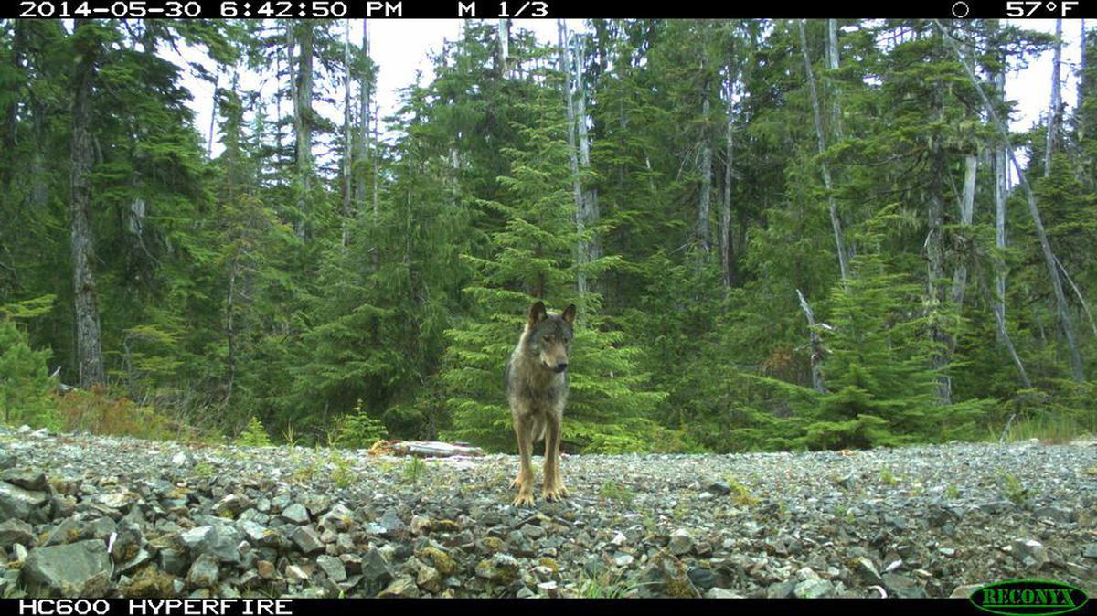 Biologists are using new techniques to study wolf populations, including those on Prince of Wales Island in Southeast Alaska. (Photo courtesy of U.S. Forest Service)