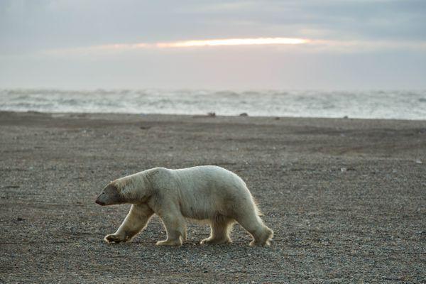 A polar bear walks along the beach near Kaktovik, on Alaska's Beaufort Sea coast, on Sept. 7, 2012. (Loren Holmes / ADN archive 2012)