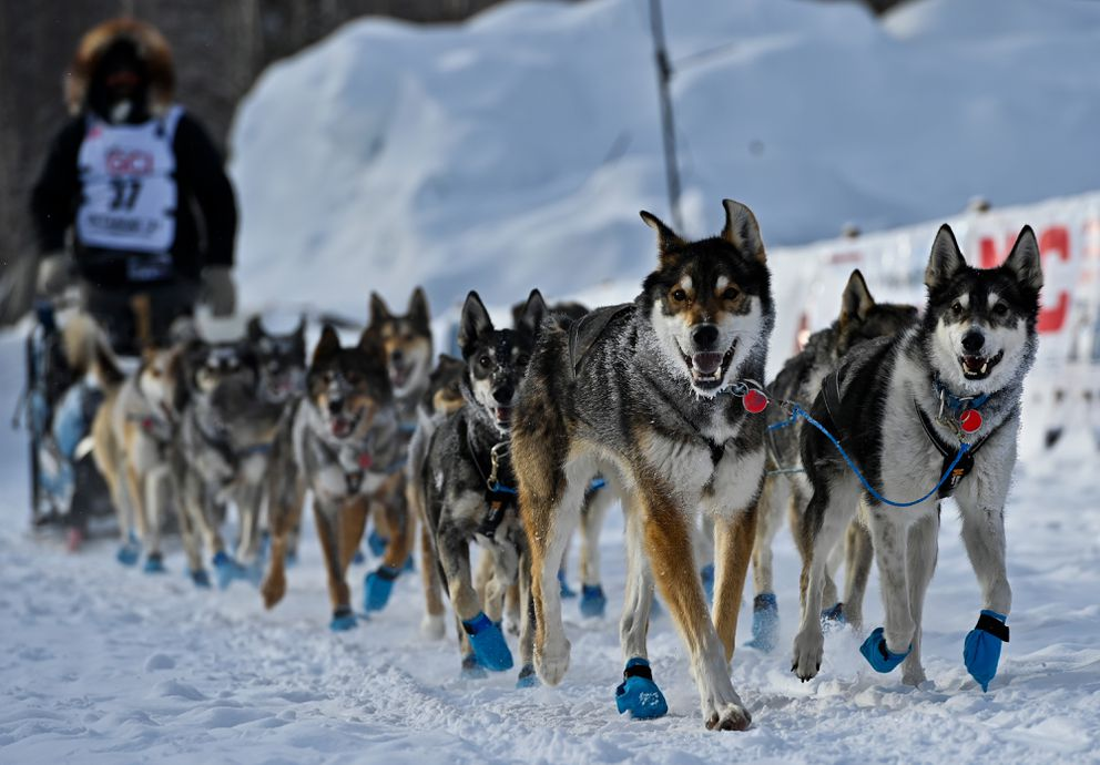 Led in part by Sable, a 10-year-old lead dog at right, Cody Strathe's team reaches the Iditarod finish line in 20th place Tuesday. (Marc Lester / ADN)