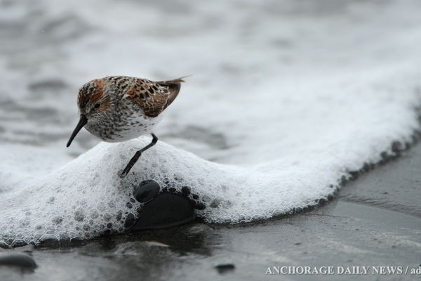 Western Sandpipers feed along the surf line on the beach at Anchor Point during the Kachemak Bay Shorebird Festival