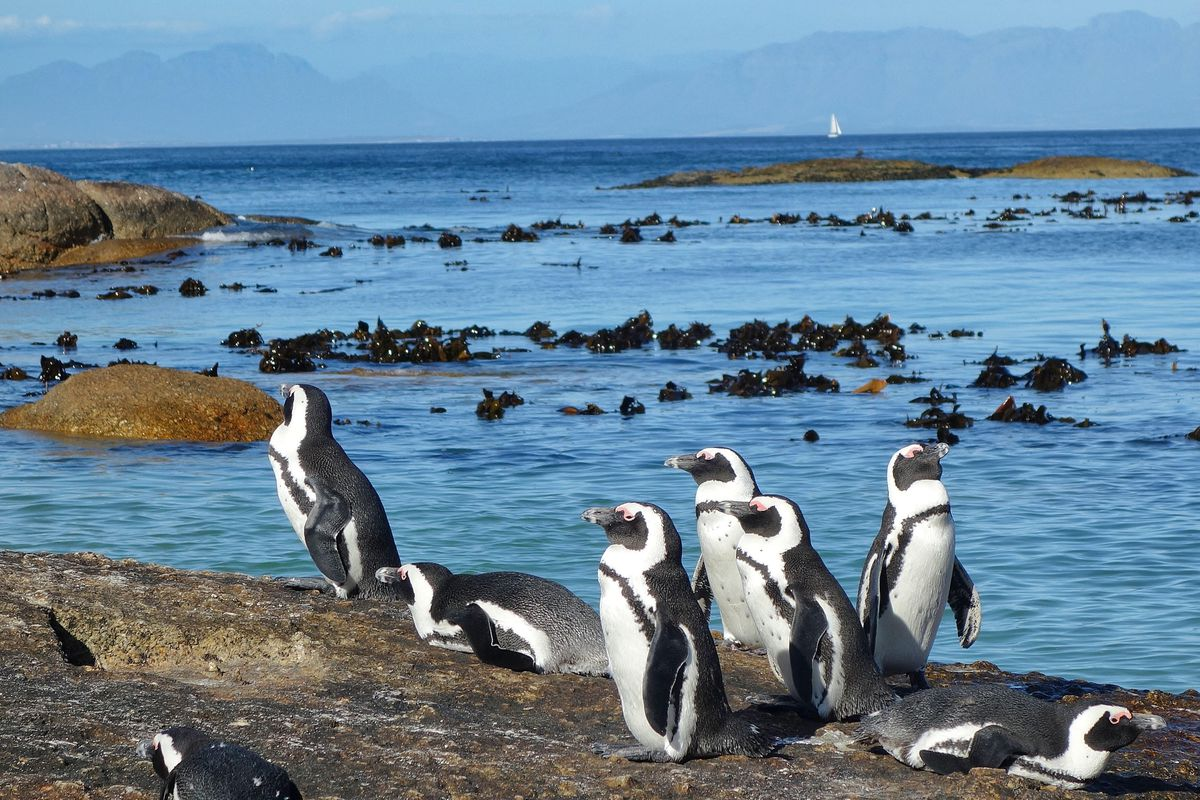 Penguins at the Cape of Good Hope, South Africa (Photo by Scott McMurren)