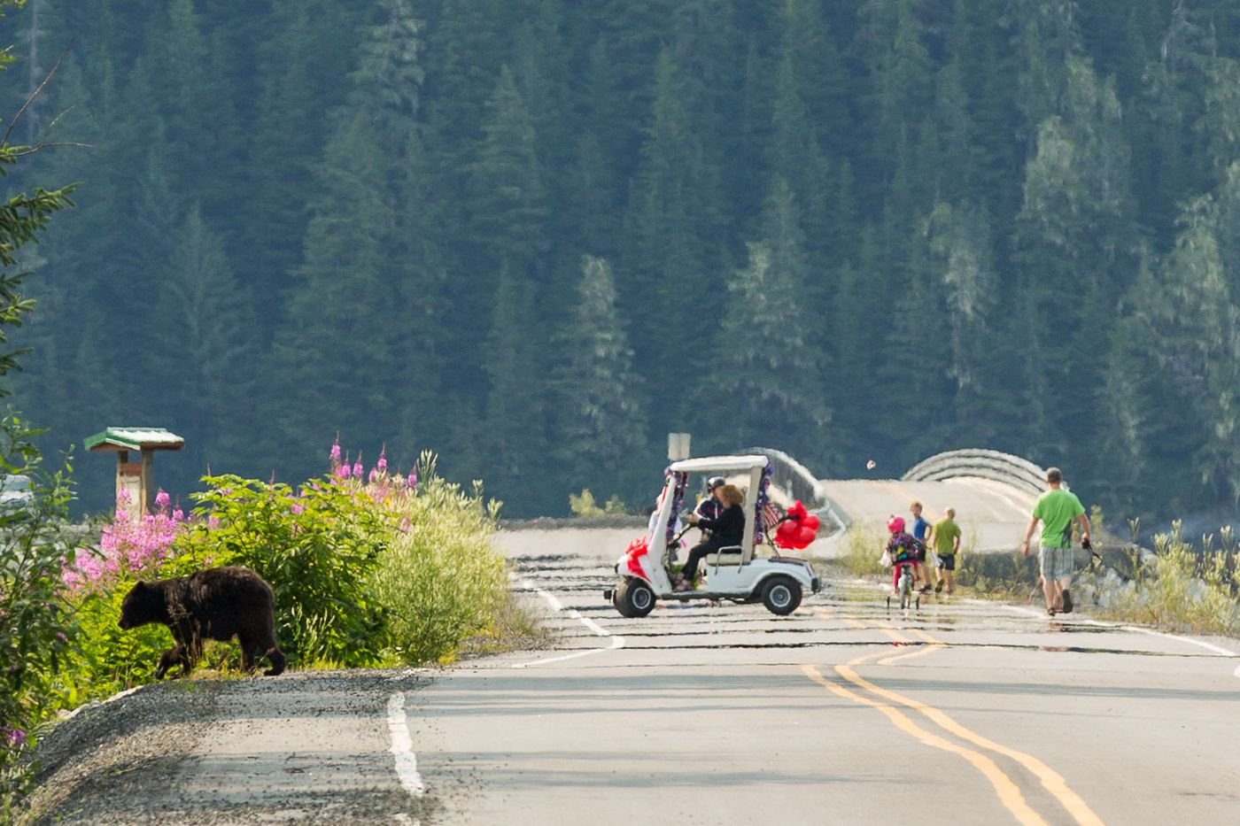 A black bear crosses the road during the Independence Day Walk, Run, Bike for Fun at the Border 5-k in Hyder on July 4, 2015. Bears are a daily presence in Hyder.