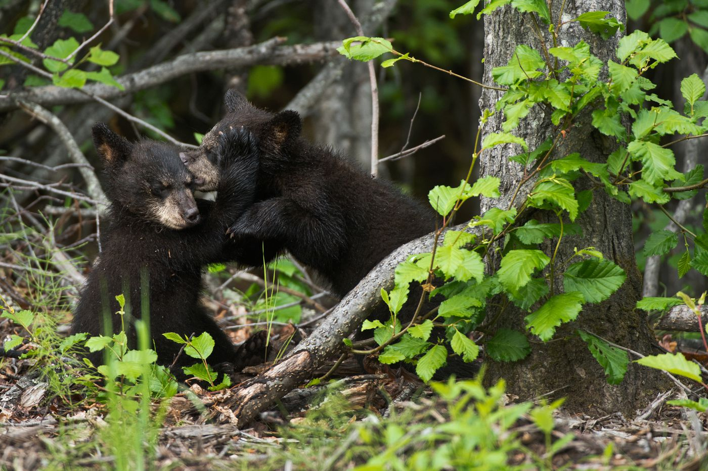 Three black bear cubs wrestled and climbed trees this week along Arctic Valley Road, about a mile from Moose Run Golf Course. (Marc Lester / Alaska Dispatch News)