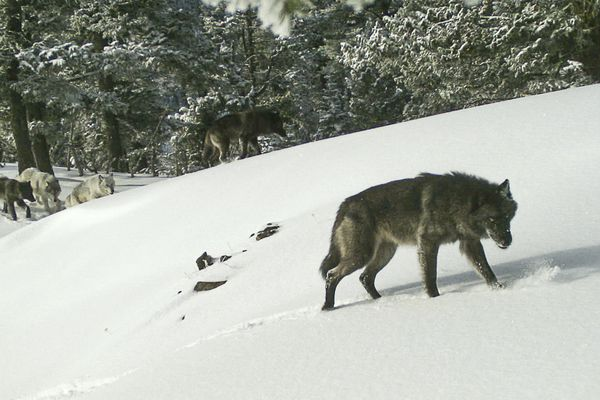 In this Feb. 1, 2017, photo released by the Oregon Department of Fish and Wildlife, the Snake River wolf pack is captured by a remote camera photo in Hells Canyon National Recreation Area in Wallowa County, Ore. A proposal to strip gray wolves of their remaining federal protections could clip the predators' rapid expansion across vast swaths of the U.S. West and Great Lakes. (Oregon Department of Fish and Wildlife via AP)
