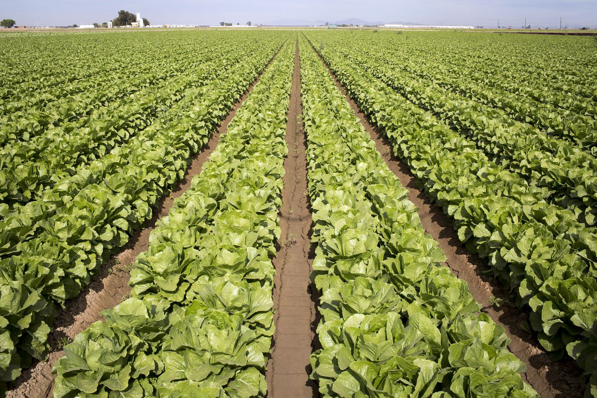 A romaine lettuce field near San Luis, Ariz., Nov. 16, 2016. E. coli linked to romaine lettuce from the Yuma, Ariz., region has infected nearly three dozen people in 11 states, according to the Centers for Disease Control and Prevention. (Caitlin O'Hara/The New York Times file)
