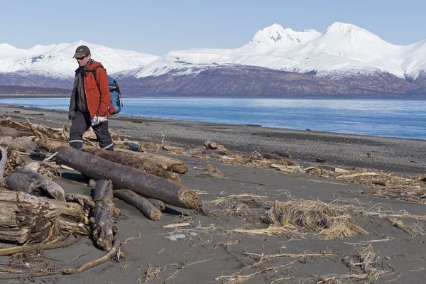 Biologist Robb Kaler of the U.S. Fish and Wildlife Service searches for seabird carcasses at Hallo Bay in Katmai National Park, Alaska on March 15. The count of dead seabirds along Alaska's coast has risen again with the discovery of at least 2,000 carcasses, mostly common murres, at Katmai National Park.