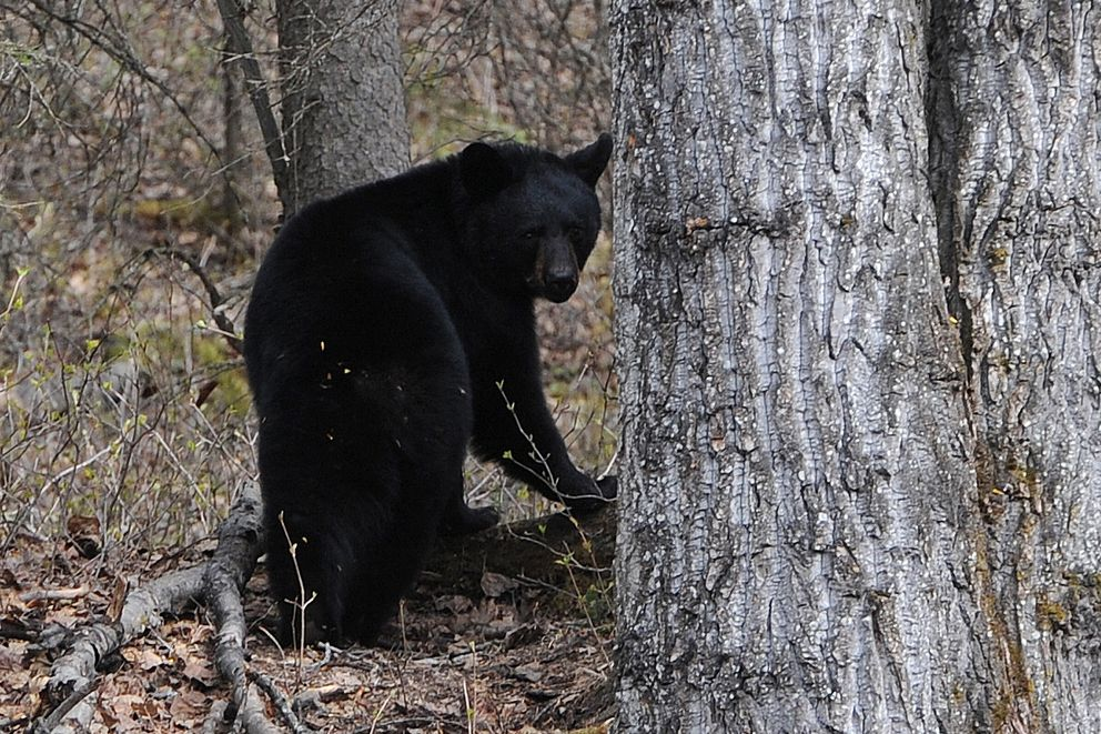 A black bear was spotted near the Alaska Native Heritage Center during their annual Mother's Day Celebration on Sunday, May 13, 2018. (Bill Roth / ADN)