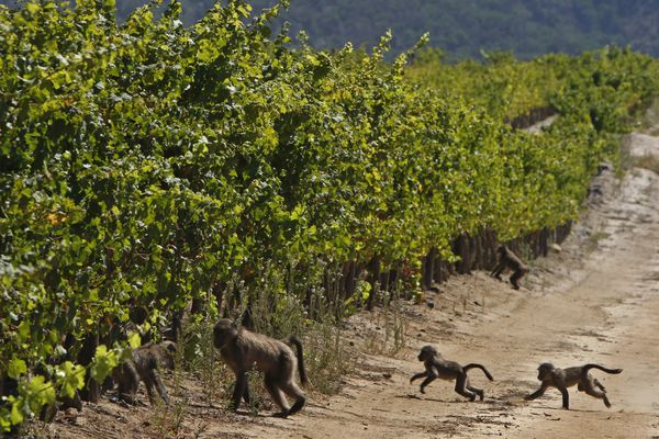 ** HOLD FOR STORY ** FILE -- In this March 19, 2010, file photo, baboon's run past a vineyard on the Constantia Uitsig wine estate in Cape Town, South Africa. From South Africa's drought-stricken vineyards, to France's noble chateaus, to sunny vineyards in Australia and California, the wine industry is taking action to protect their livelihoods amid rising temperatures and more dramatic weather variations. (AP Photo/Schalk van Zuydam, File)