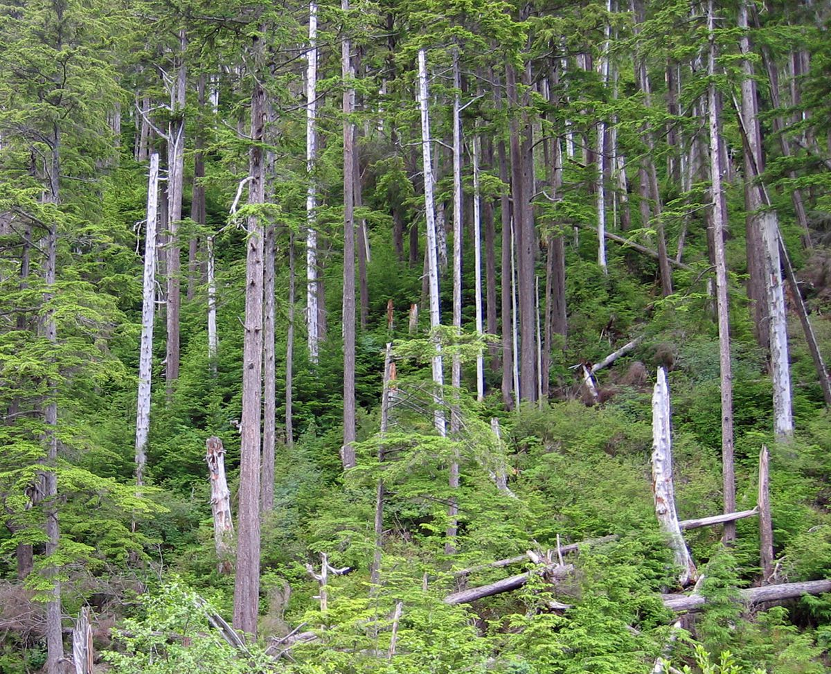 High winds snapped off and blew down a small area in this western hemlock forest on the Tongass National Forest near Sitka, Alaska. (Mary Stensvold / U.S. Forest Service)