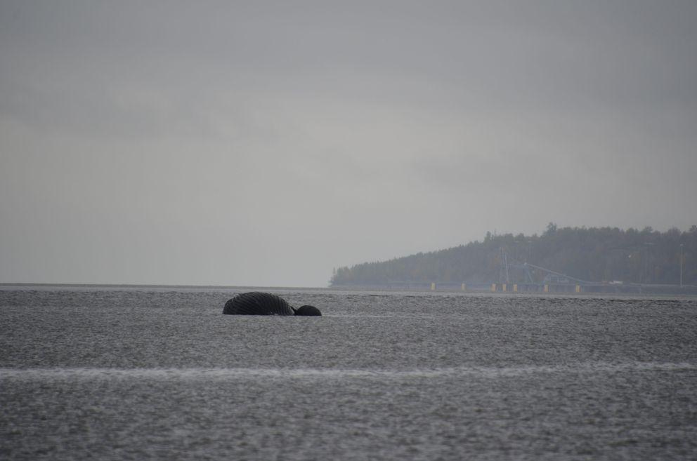 Thedead humpback whale floats in Knik Arm near Port MacKenzie. (NOAA Fisheries/MMPA/ESA Permit #18786)