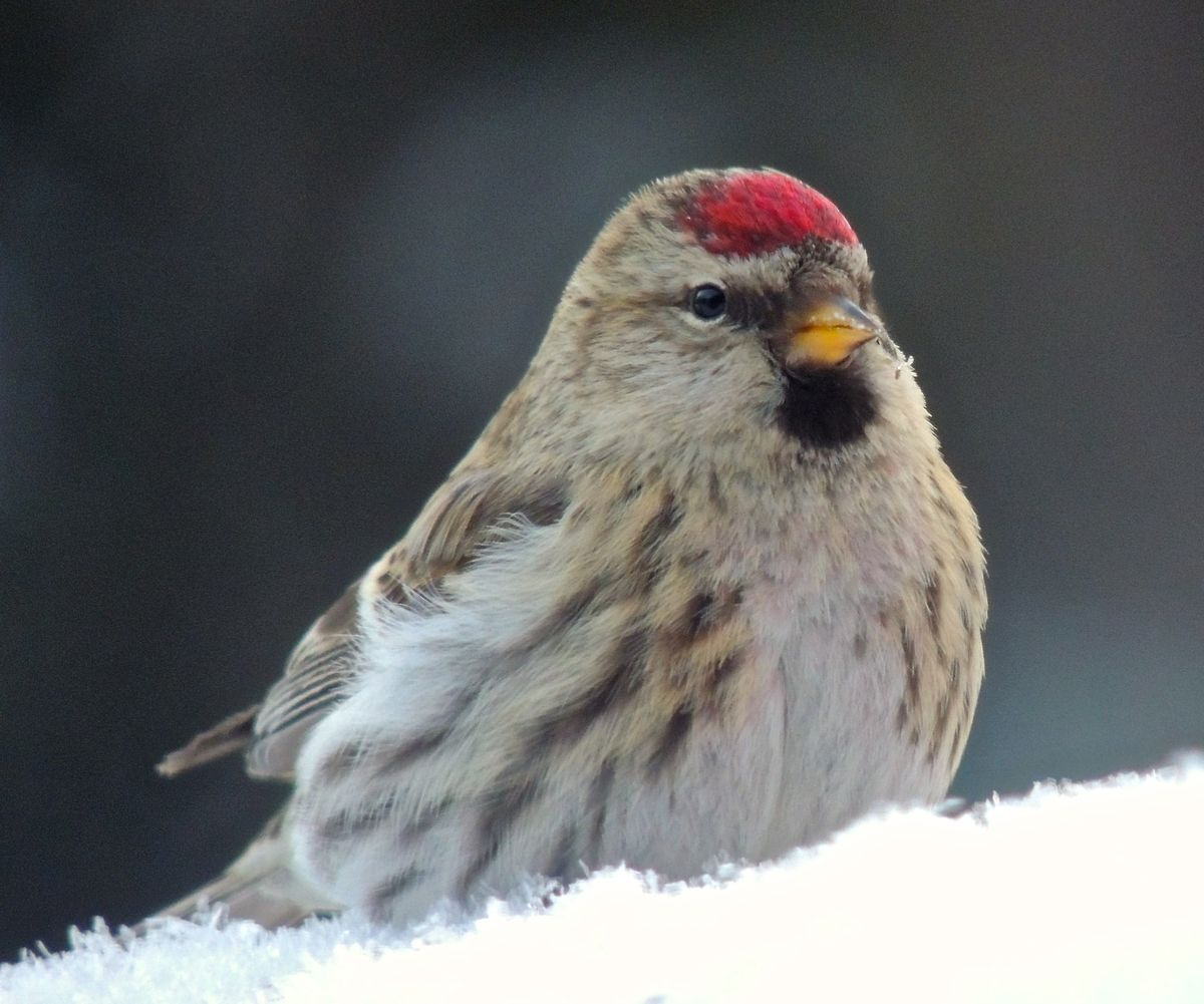 Common redpolls in Fairbanks. Photos by Anne Ruggles.