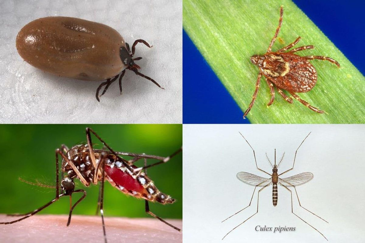 Clockwise from top left: The deer tick, which transmits Lyme disease; the American dog tick, which transmits Rocky Mountain spotted fever and tularemia; the Culex pipiens mosquito, which transmits West Nile virus; and the Aedes aegypti mosquito, which transmits Zika, dengue and chikungunya.(Centers for Disease Control and Prevention)