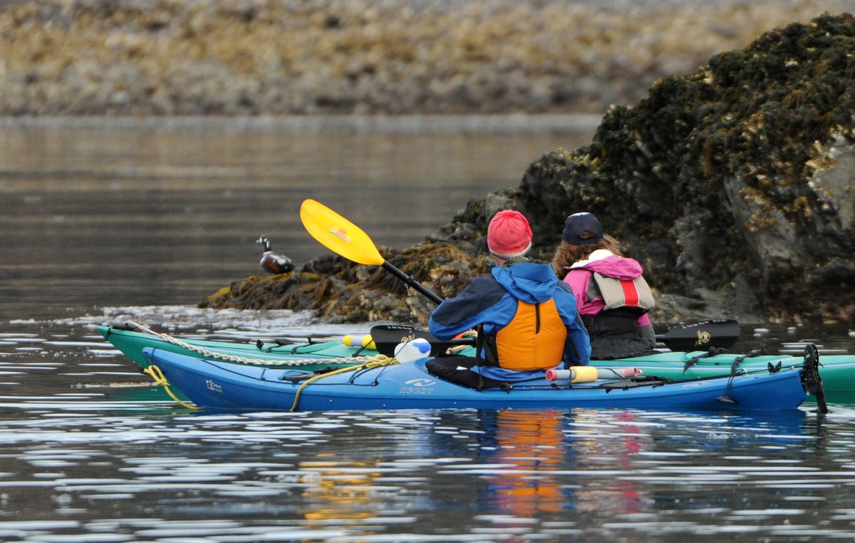 Kayakers, on a True North Kayak Adventures tour near Elephant Rock across Kachemak Bay from the Homer Spit, paddle by a duck on May 10, 2013, the second day of the Homer Shorebird Festival. (Bob Hallinen/ADN)
