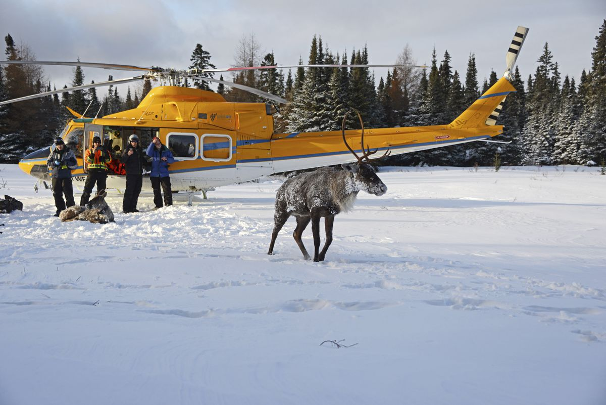 Acaribou that was sedated to be transported by helicopter to Slate Island, in Lake Superior. After wolves crossed an ice bridge and decimated the caribou population on Michipicoten Island, the relocation of eight cows and one bull here was deemed the herd's best chance for survival. (Ontario Ministry of Natural Resources and Forestry via The New York Times)