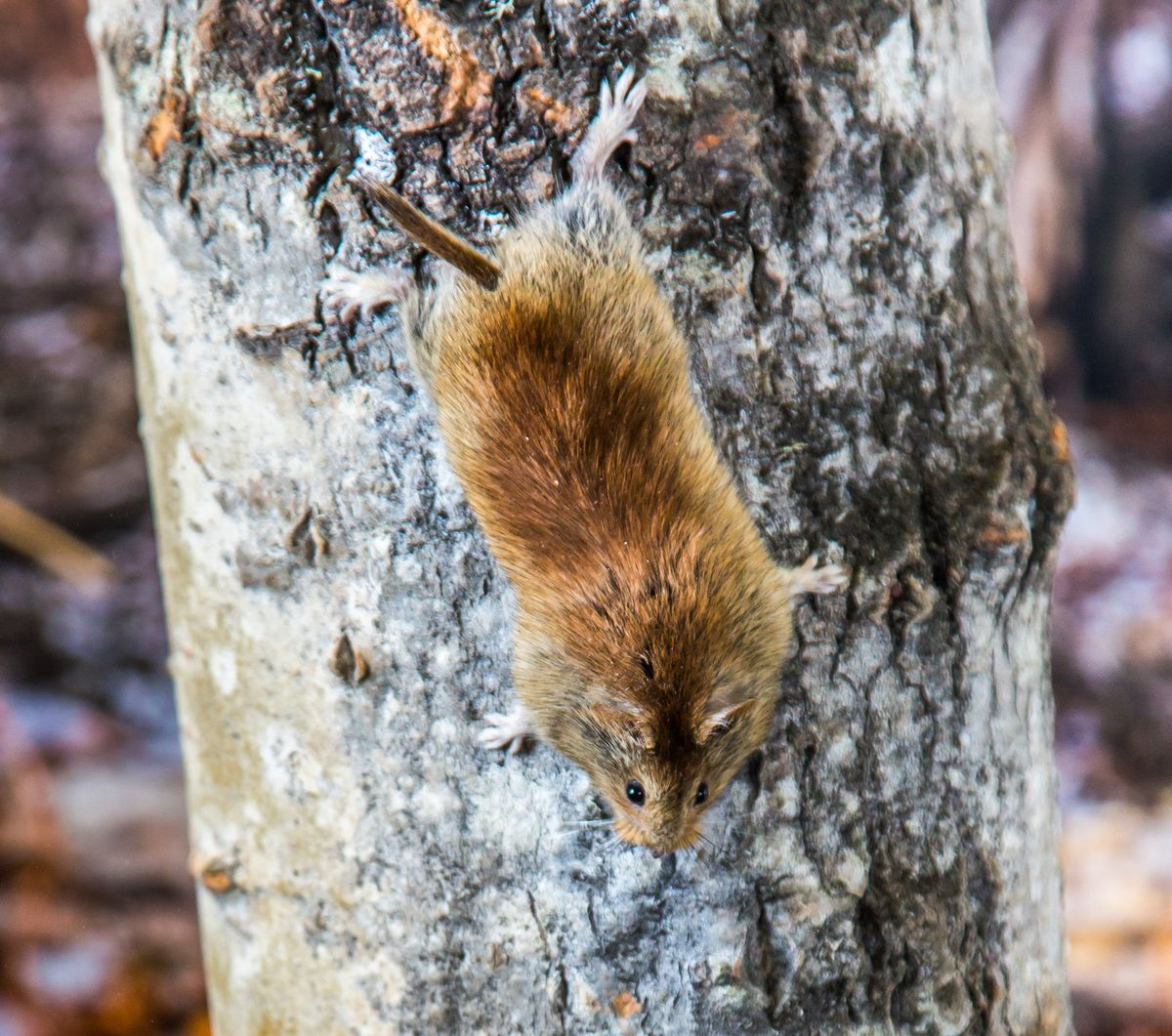 A northern red-backed vole climbing down a tree. (Photo by Todd Paris / UAF)