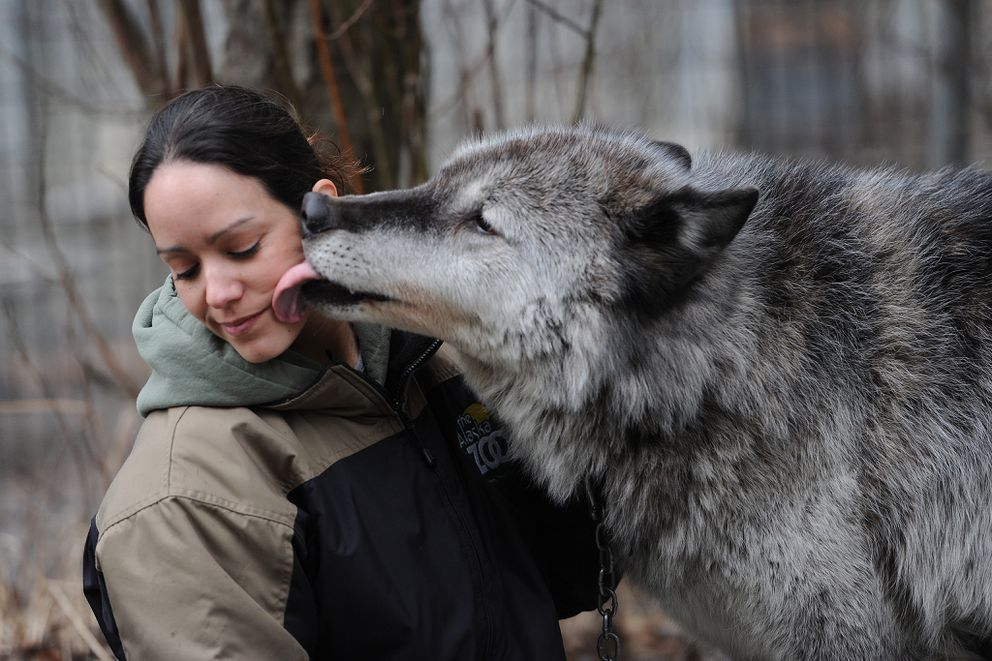 Alaska Zoo education director Stephanie Hartman gets a kiss from a gray wolf named Denali on March 30, 2016, while showing him to first grade students from the Anchorage School District. (Bill Roth / ADN)