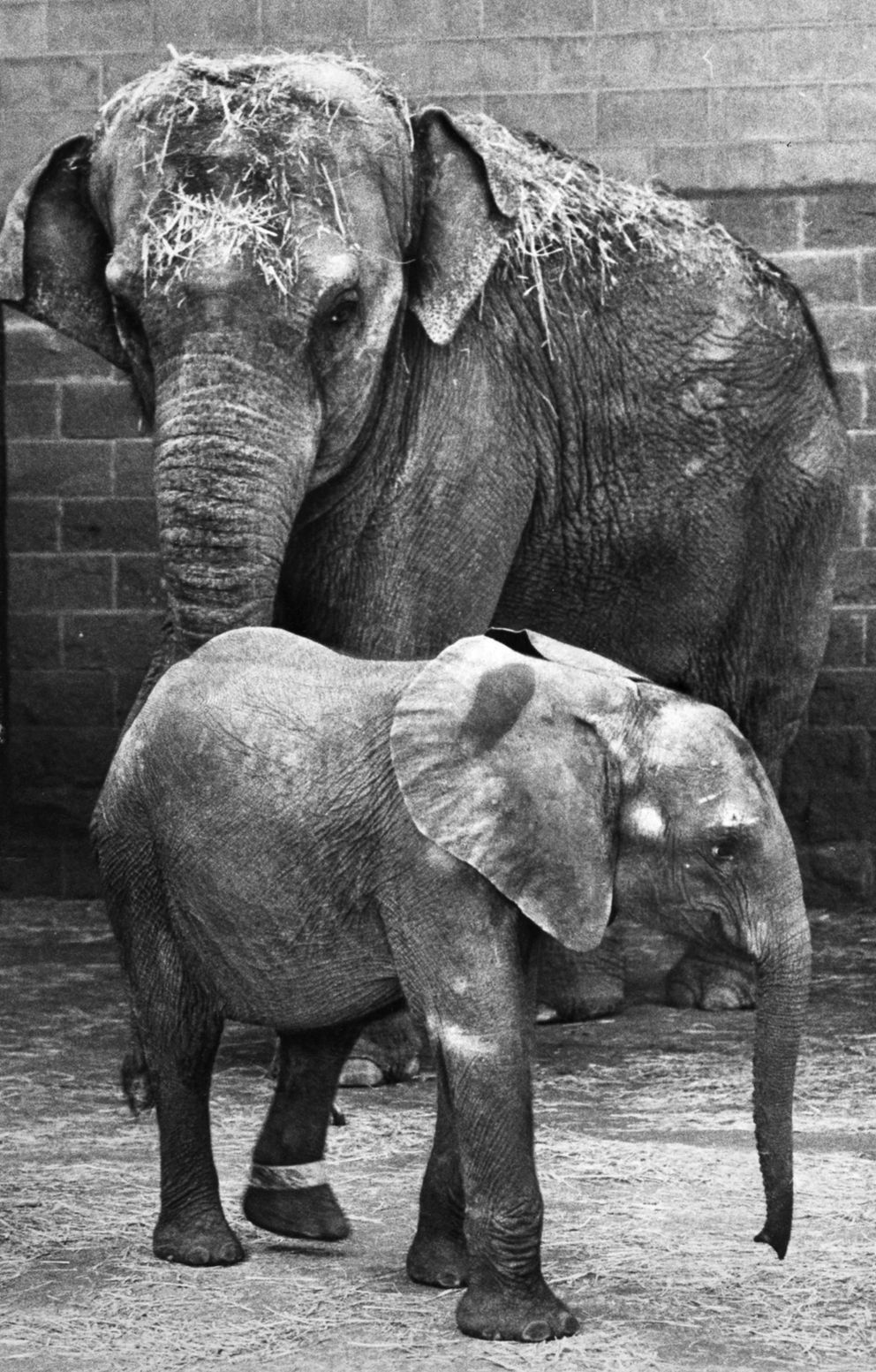 Maggie, then a one-year-old orphaned African elephant, arrived Friday, Sept 30, 1983, at the Alaska Zoo. She was dwarfed by the zoo's resident Asian elephant, Annabelle. (Fran Durner / ADN)