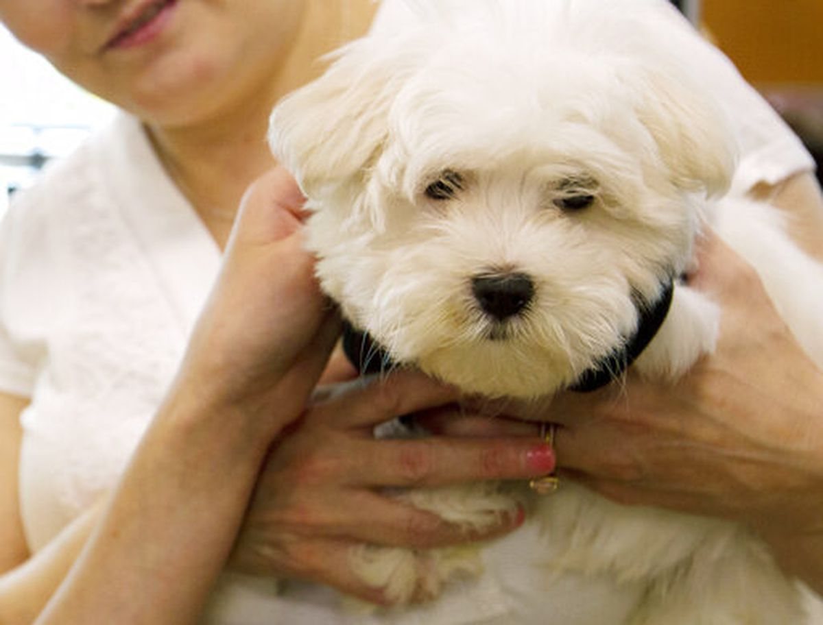 A customer shows her new puppy at a pet store in Columbia, Md., Monday, Aug. 26, 2019. (AP Photo/Jose Luis Magana)